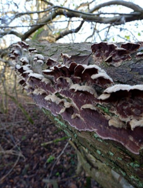 Over-mature brackets with the velvet upper surface on hawthorn in Hockley Woods, Essex