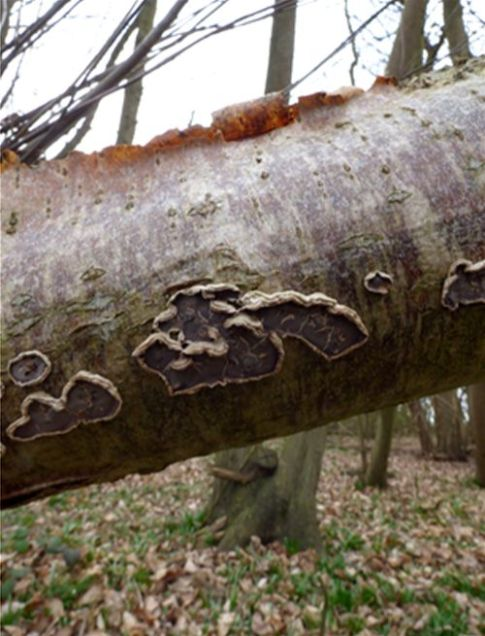 Senescent fruiting bodies cracking beneath on fallen birch in Gusted Hall Wood, Essex