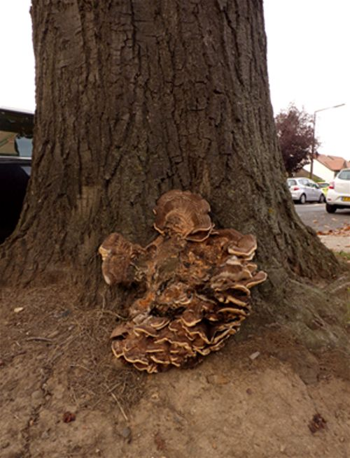 A mature fruiting mass at the base of a highway red oak in Southend, Essex.