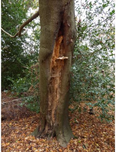 On a longitudinal beech wound in Epping Forest, UK.
