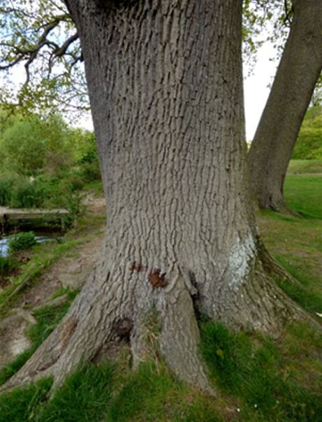Remnants of old fruiting bodies between buttresses on a mature English oak in Mote Park, Maidstone