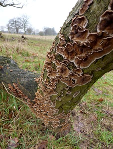 Less distinct bracket-like formations on English oak in Bedford, Bedfordshire